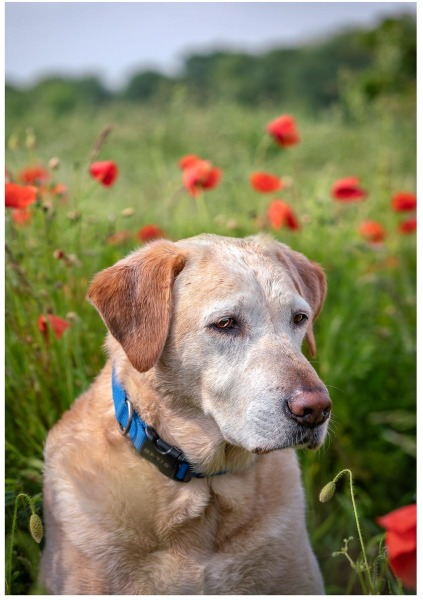 Dogs in Poppies, Jack (2nd place)