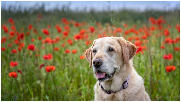 Dogs in Poppies, Cassie (2nd place)