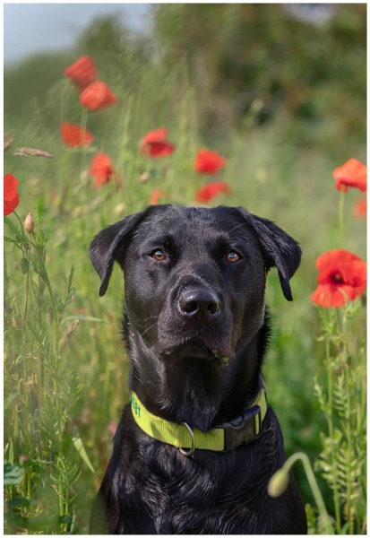 Dogs in Poppies, Pippa (2nd place)