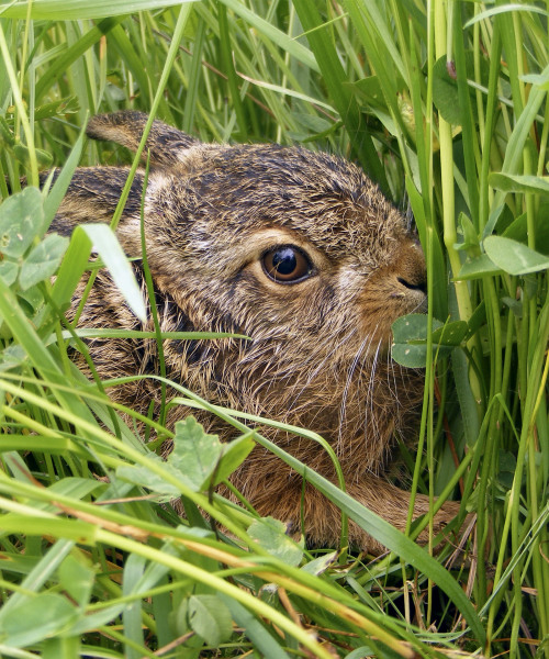 Leveret Lying Low (2nd place)